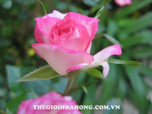 Hoa hồng leo phục hồi lại khi chữa khỏi bệnh sùi cành