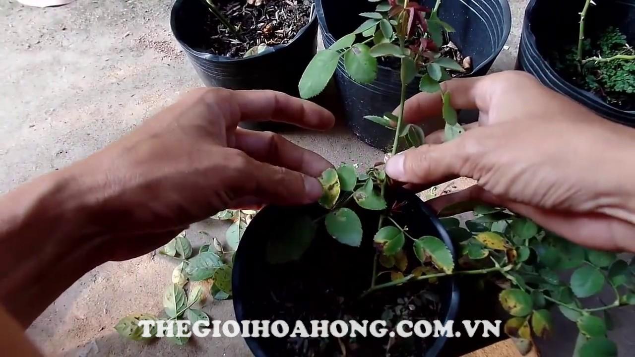 Cây hoa hồng bị bệnh vàng lá cần chăm sóc như thế nào? (4)