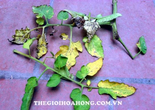 Bệnh sương mai gây vàng lá và làm rụng lá cây hoa hồng