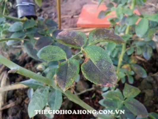 Một số bệnh đốm lá thường gặp trên cây hoa hồng