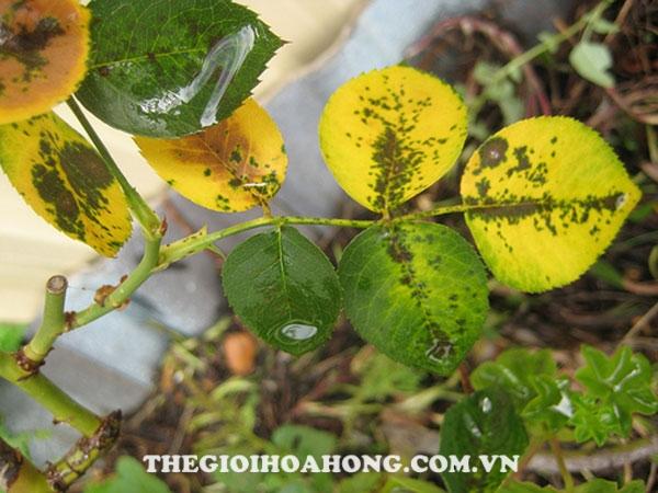 Độ vàng lá trên mỗi cây hoa hồng thường khác nhau