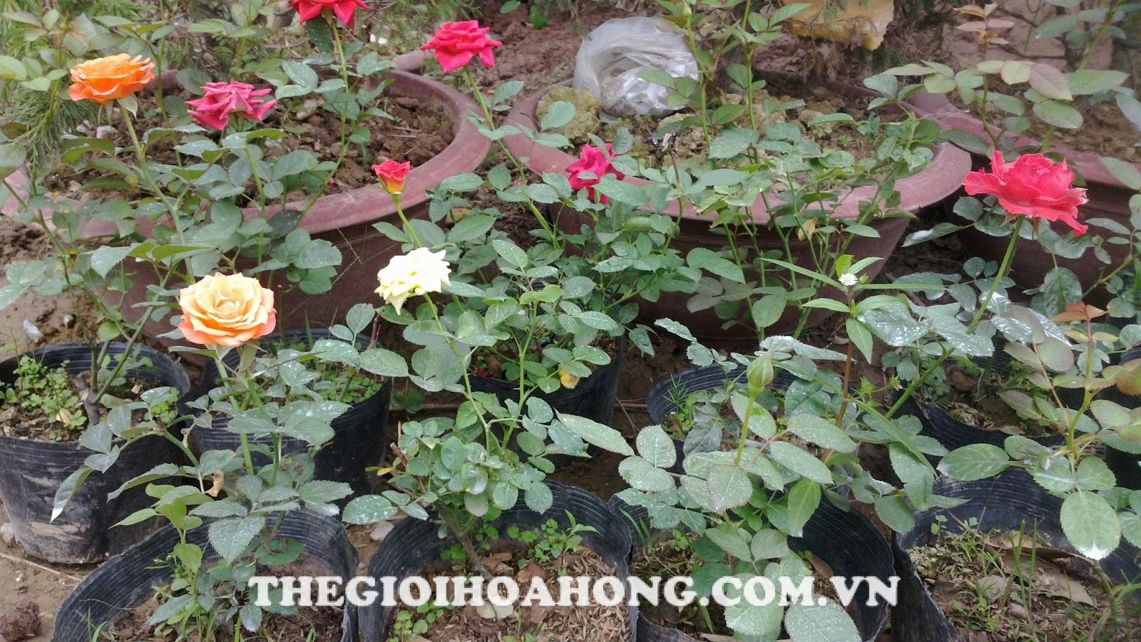 Chăm sóc cây hồng sau khi cắt tỉa