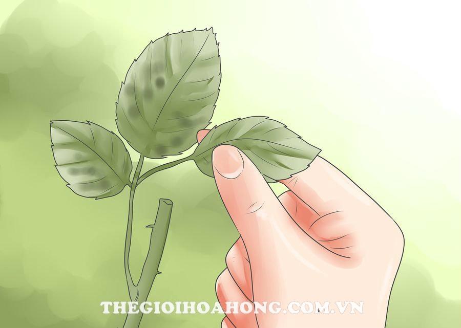 Cây hồng bị đốm lá khi chuẩn bị nở hoa phải làm thế nào? (4)