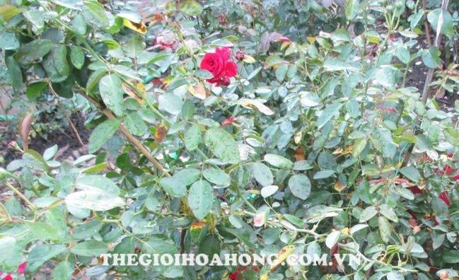 Cây hồng bị vàng lá do bệnh sương mai (Downy Mildew )