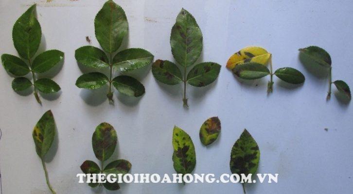 Cây hồng bị vàng lá do bệnh sương mai gây rụng lá