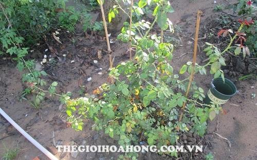 Biểu hiện của cây hoa hồng khi sử dụng nhiều Trichoderma