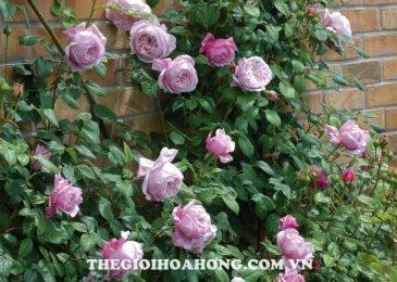Chăm sóc cây Hoa hồng leo Spirit of freedom như thế nào? (2)