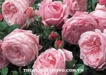 Chăm sóc cây Hoa hồng leo Spirit of freedom như thế nào? (3)