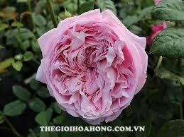 Chăm sóc cây Hoa hồng leo Spirit of freedom như thế nào? (4)