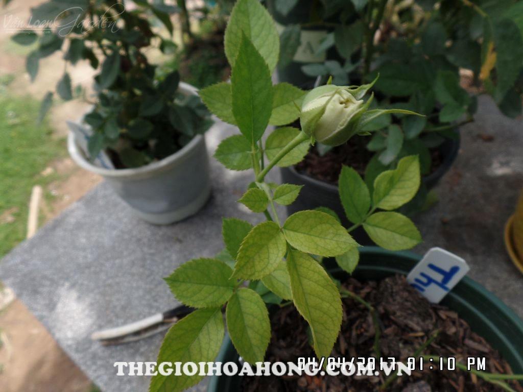 cây hồng giâm cành mới
