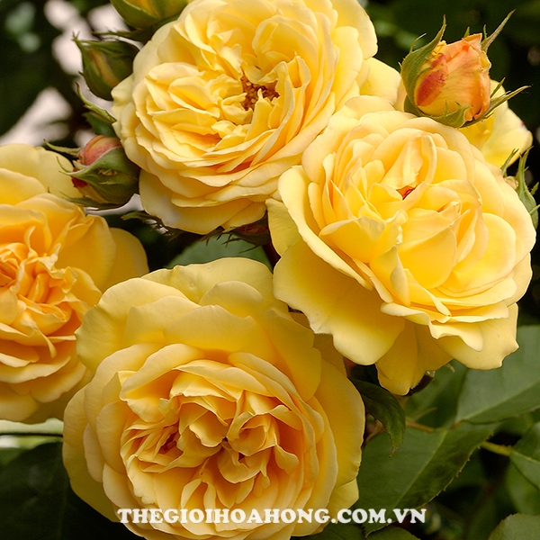 Chăm sóc Hoa hồng Charles Darwin đúng cách (1)