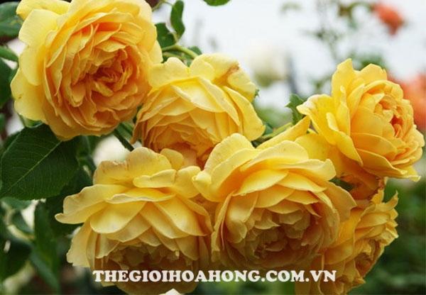 Chăm sóc Hoa hồng Charles Darwin đúng cách (3)