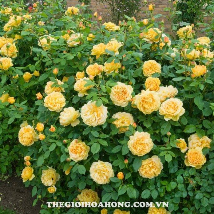 Chăm sóc Hoa hồng Charles Darwin đúng cách (4)