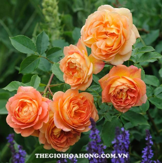 Chăm sóc Hoa hồng leo Golden Celebration đúng cách (1)