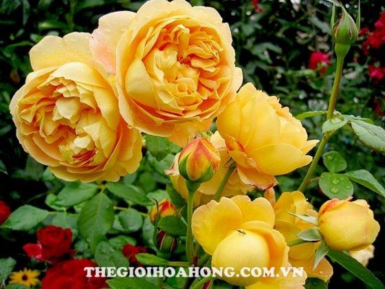 Chăm sóc Hoa hồng leo Golden Celebration đúng cách (3)