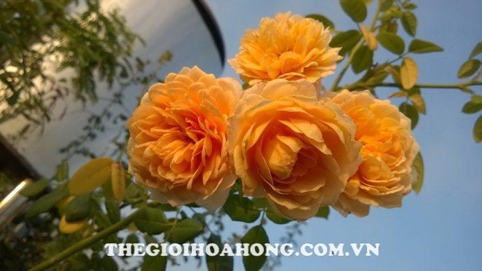 Chăm sóc Hoa hồng leo Golden Celebration đúng cách (4)
