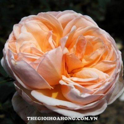 cham-soc-hoa-hong-tree-rose-alexandrine