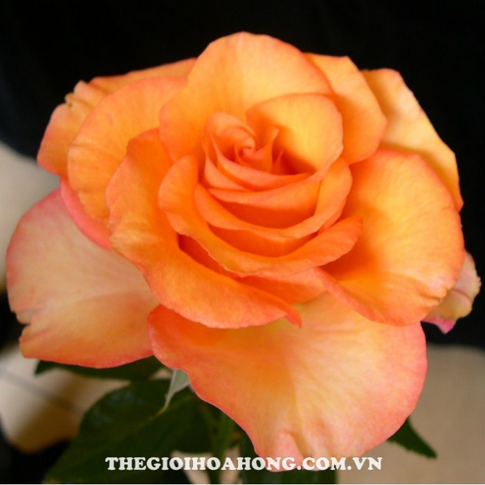 cham-soc-hoa-hong-tree-rose-sunstruck
