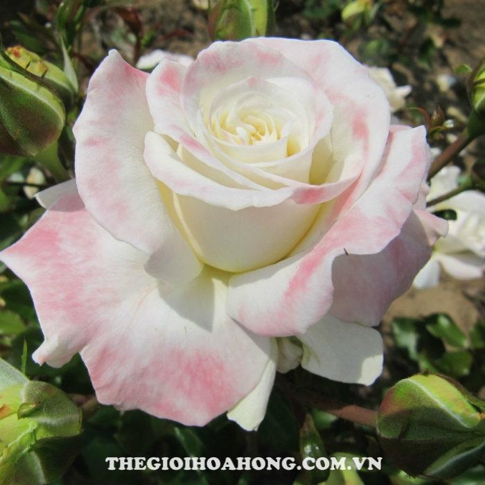 cham-soc-hoa-hong-tree-rose-titanic