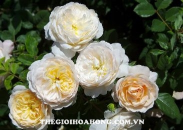 Chia sẻ cách chăm sóc Hoa hồng leo Crocus (1)