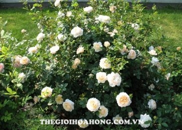 Chia sẻ cách chăm sóc Hoa hồng leo Crocus (2)