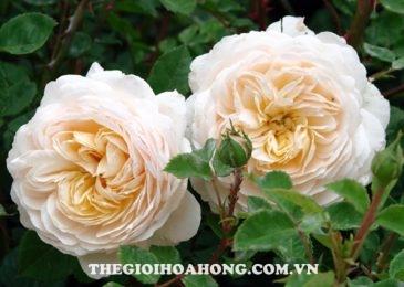 Chia sẻ cách chăm sóc Hoa hồng leo Crocus (3)