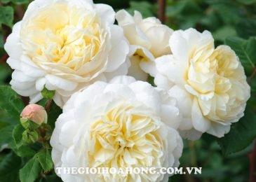 Chia sẻ cách chăm sóc Hoa hồng leo Crocus (4)