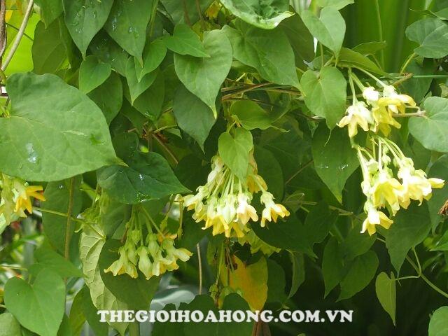 Chia sẻ cách trồng và chăm sóc Cây hoa thiên lý (4)
