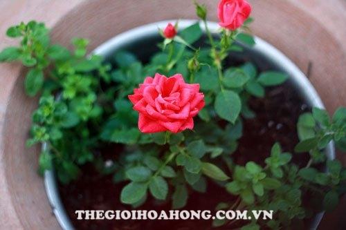 Chia sẻ kỹ thuật trồng hoa hồng tỉ muội (1)