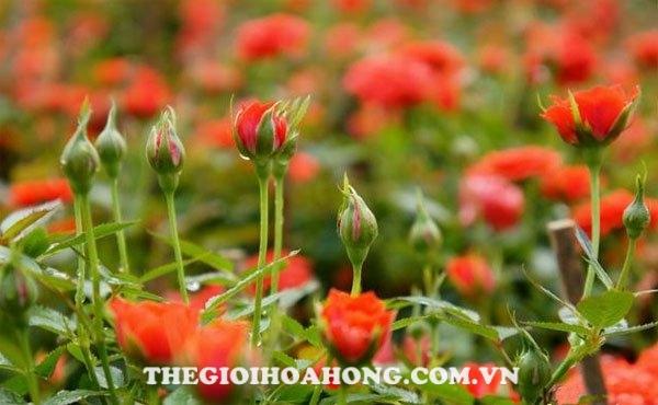 Chia sẻ kỹ thuật trồng hoa hồng tỉ muội (4)