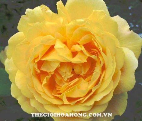 Chiêm ngưỡng những sắc vàng độc đáo của hoa hồng David Austin (1)