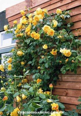 Chiêm ngưỡng những sắc vàng độc đáo của hoa hồng David Austin (2)