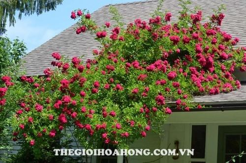 Hoa hồng leo climbing roses