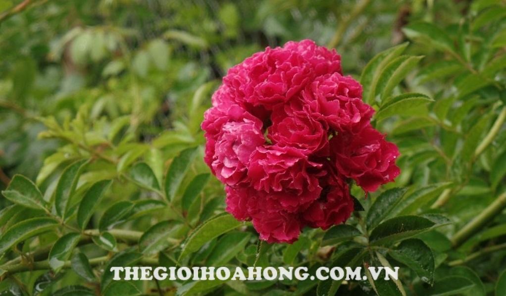 Hoa hồng leo climbing roses hoa chùm