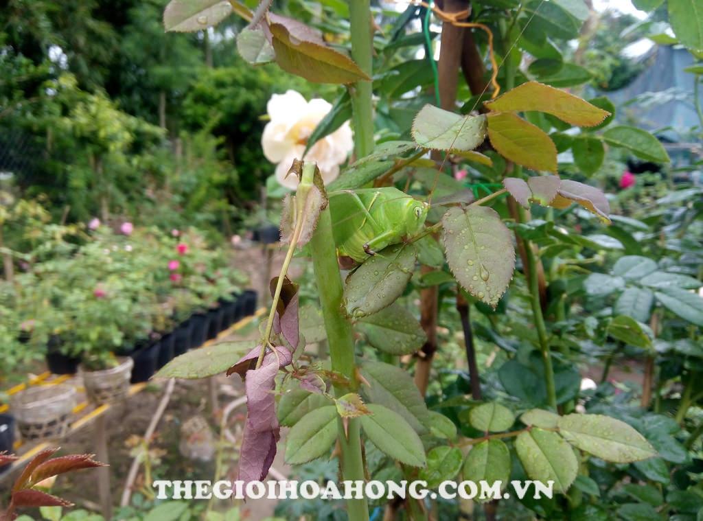 Muồm muỗm ăn đọt non cây hoa hồng