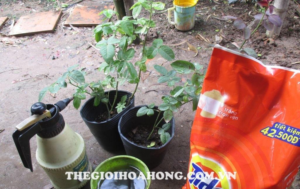 Chuẩn bị nước xà phòng diệt trừ côn trùng hại cây hoa hồng