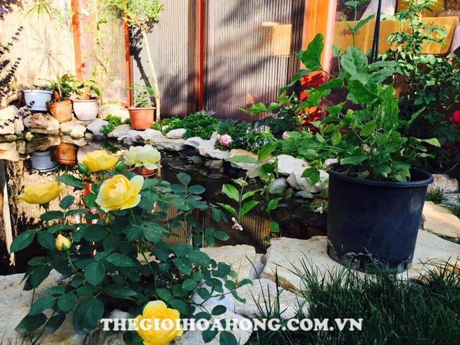 Cây hoa hồng sạch côn trùng ra hoa đẹp