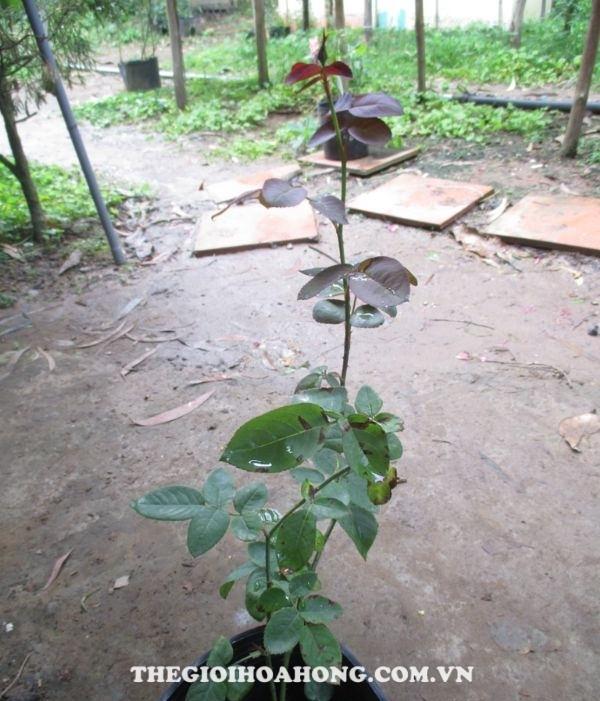 Khả năng diệt côn trùng trên cây hoa hồng của xà phòng