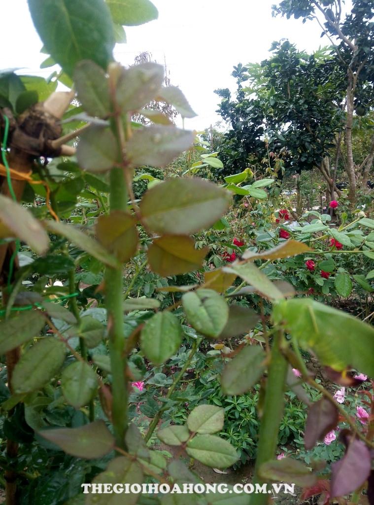 Đọt non cây hoa hồng bị gãy khi bị muồm muỗm ăn