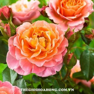 Đánh giá hoa hồng bụi Marie Curie (1)