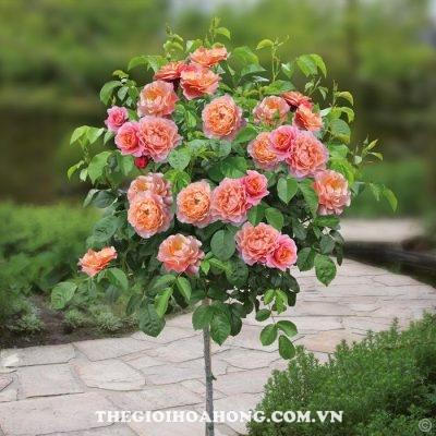 Đánh giá hoa hồng bụi Marie Curie (2)