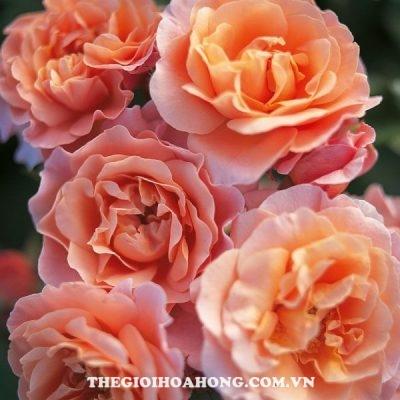 Đánh giá hoa hồng bụi Marie Curie (3)