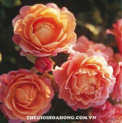 Đánh giá hoa hồng bụi Marie Curie (4)