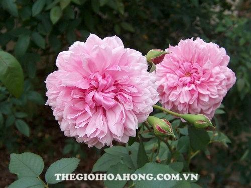 Đánh giá hoa hồng bụi Sister Elizabeth (1)