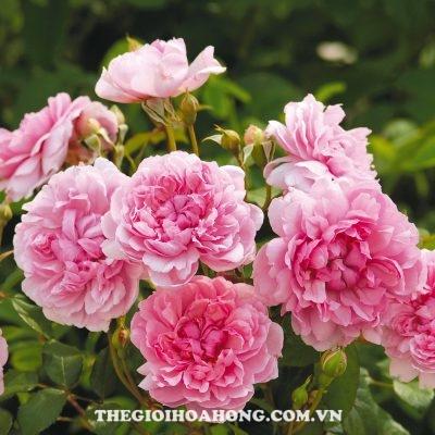 Đánh giá hoa hồng bụi Sister Elizabeth (2)
