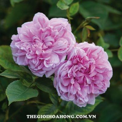 Đánh giá hoa hồng bụi Sister Elizabeth (4)