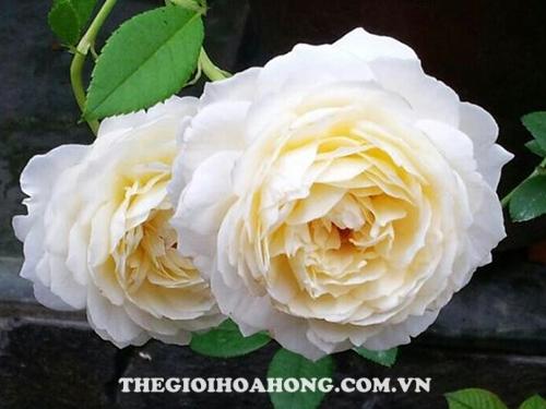 Đánh giá về hoa hồng bụi Claire Austin (1)
