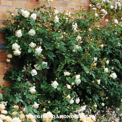 Đánh giá về hoa hồng bụi Claire Austin (2)