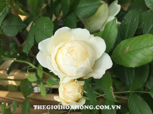 Đánh giá về hoa hồng bụi Claire Austin (3)