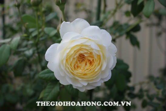 Đánh giá về hoa hồng bụi Claire Austin (4)